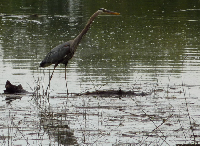 Great Blue Heron in Oaks Bottom