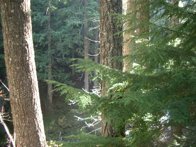 Old Growth Forest near Tamanawas Falls, Mt. Hood