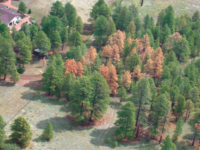 Forest killed by bark beetles