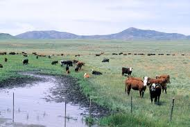 Cattle grazing on public lands in the west