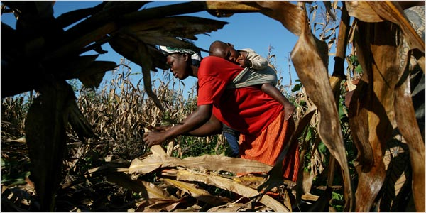 A woman harvesting corn in Malawi, an African country that is already prone to d