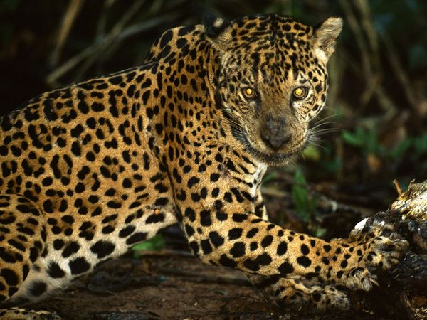 Rare South American Jaguar