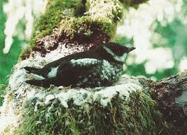 Marble Murrelet in old growth tree