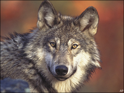 Controversial Pacific NW wolf