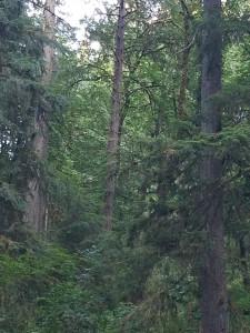 Rainforest Cascadia