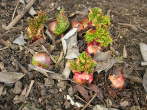 Rhubarb ready for dividing