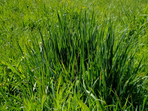 Close up on a meadow showing some of the different species of grass that comprise it