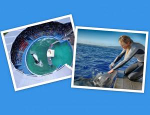 Orca in small tank; woman petting shark
